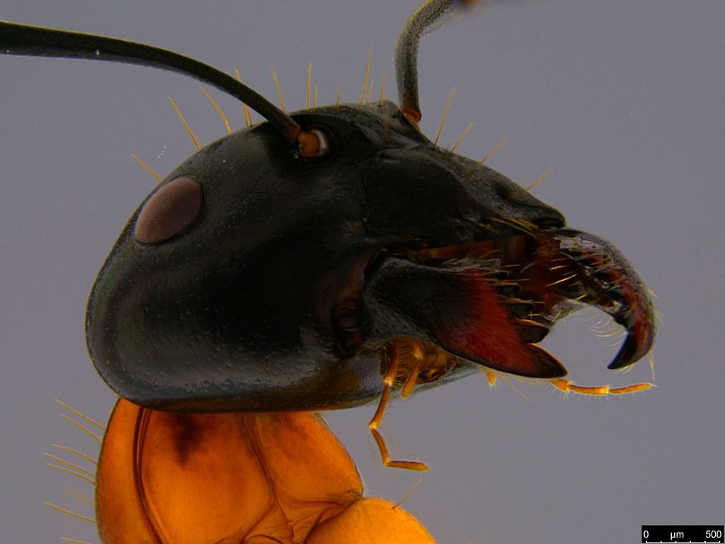 26d - Camponotus consobrinus (Erichson, 1842)
