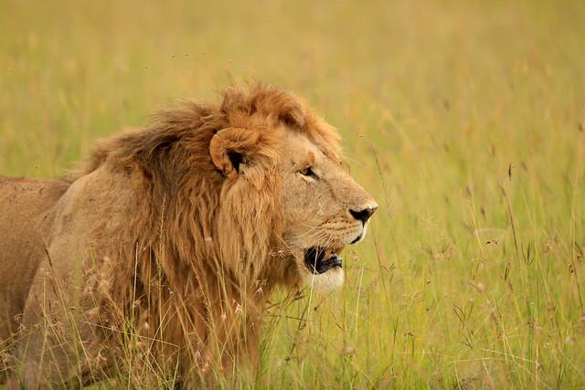 Lion - from the Marsh Pride bringing his runaway brides home. Maasai Mara, Kenya, 2012.