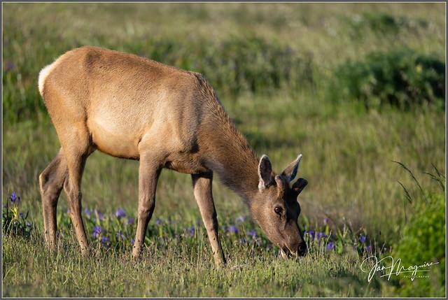 Young Tule Elk 3756