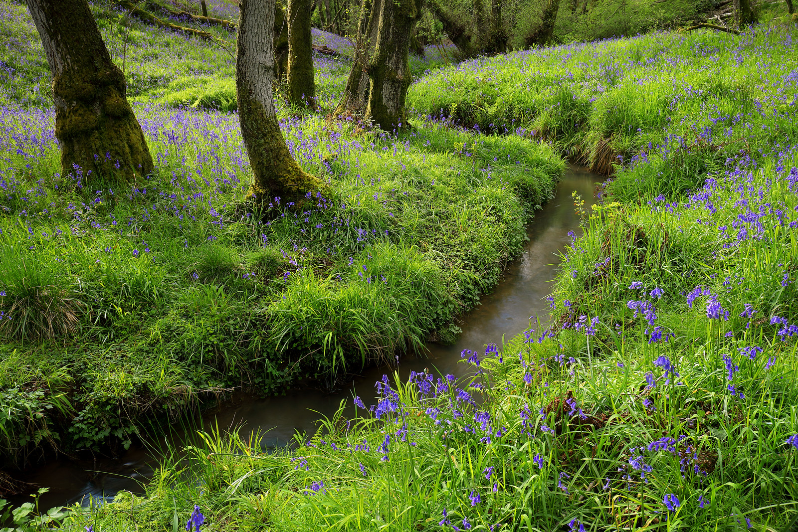 Bluebell Wood and Stream