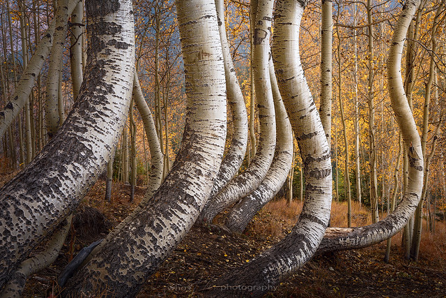 Curved Aspen Trees (EXPLORED!)