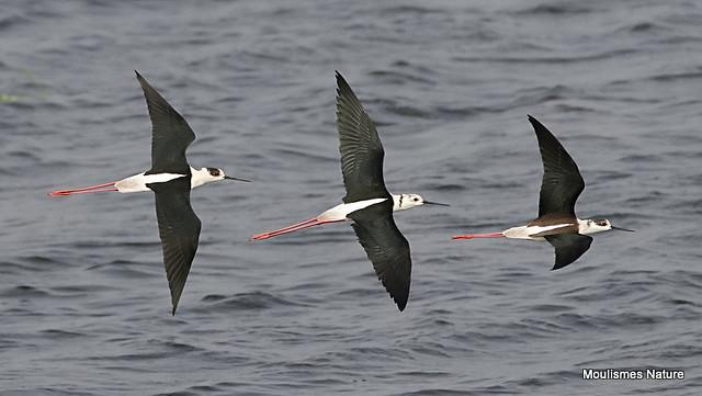 0S8A5545. Black-winged Stilt (Himantopus himantopus)