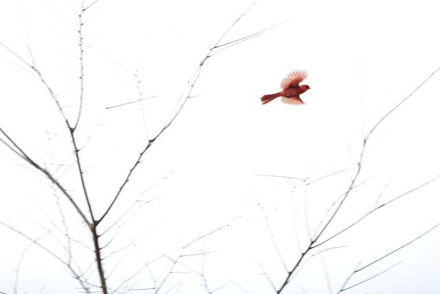 Cardinal takes off - Michigan, USA, 2017.