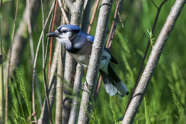 Blue Jay Foraging