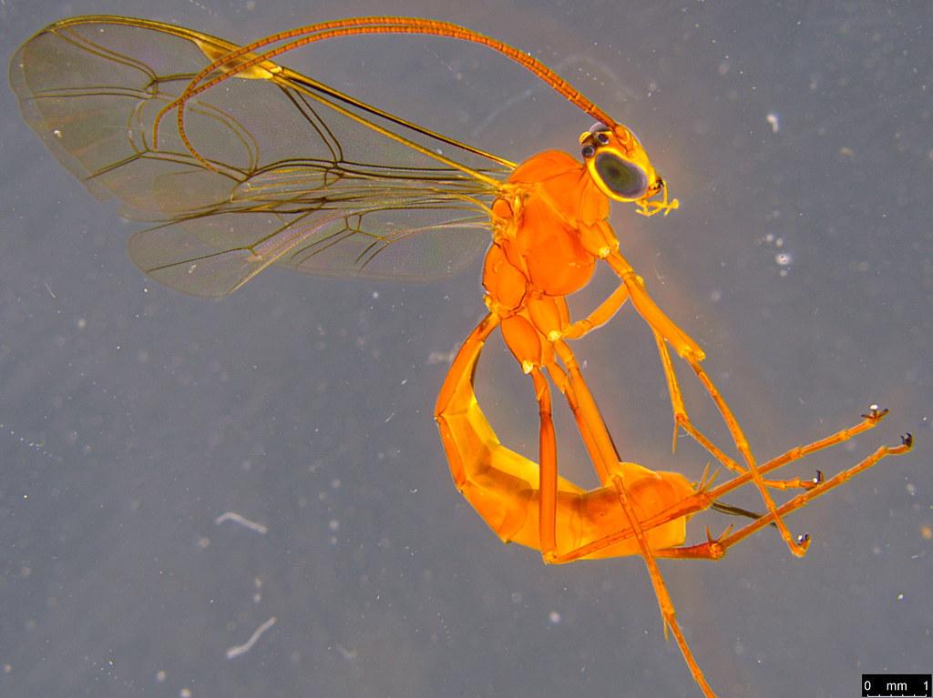 14 - Ichneumonidae sp.