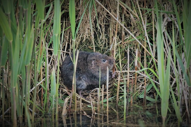 Water Vole Dungeness RSPB