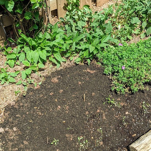 Newly sown and watered garden bed with clematis vine in back ground, established black eyed susan and coreopsis seedlings at front of the bed.