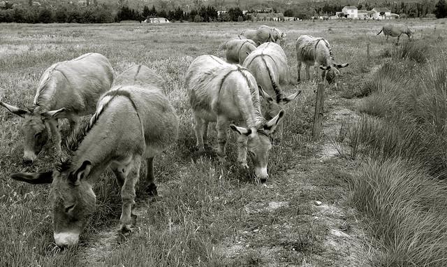Troupeaux d'ânes