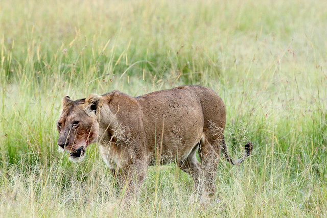 Wounded warrior - Lioness after a run-in with hyenas. Maasai Mara, Kenya, 2012.