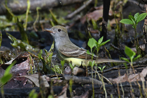 Great Crested Flycatcher - Firehouse Woods - © Dick Horsey - May 19, 2021