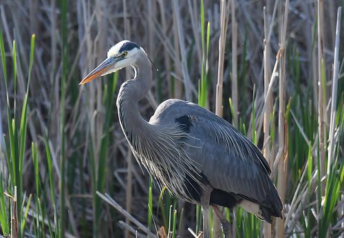 Great Blue Heron - Brickyard Trail - © Dick Horsey - May 20, 2021