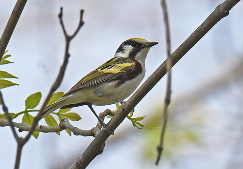 Chestnut-sided Warbler - Lakeview Community Church Trail - © Dick Horsey - May 21, 2021