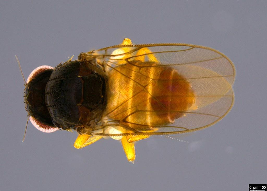 11a - Diptera sp.