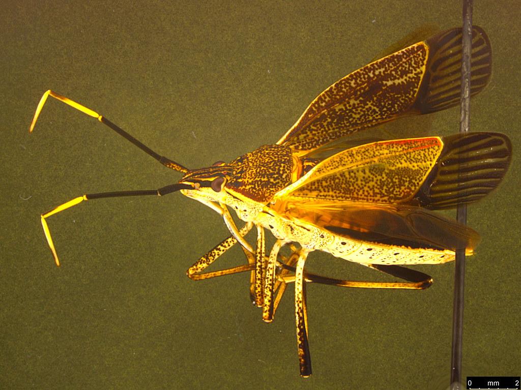 12 - Poecilometis strigatus (Westwood, 1837)