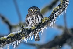 Northern pygmy owl in winter
