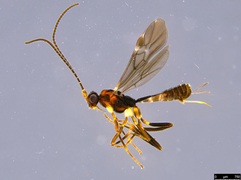18a - Braconidae sp.