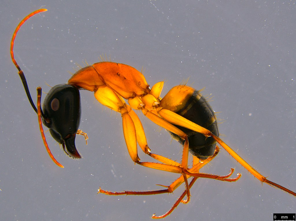 26a - Camponotus consobrinus (Erichson, 1842)