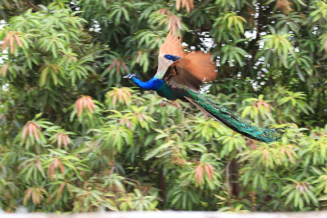 Peacock in flight - Ahmedabad, India, 2012.