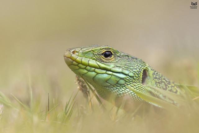 Sardao, ocellated lizard(Timon lepidus)