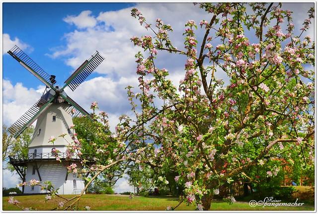 Apfelblüte in Sprengel