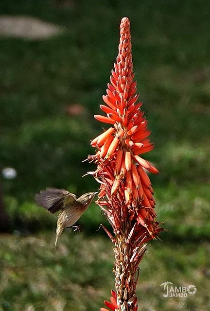 L'uccellino del fiore dell'agave