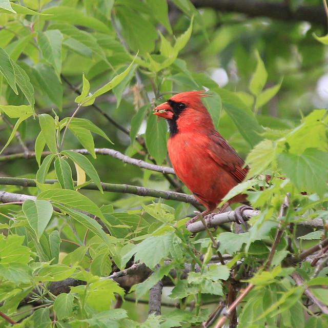 Cardinal and his prey - Michigan, USA, 2021
