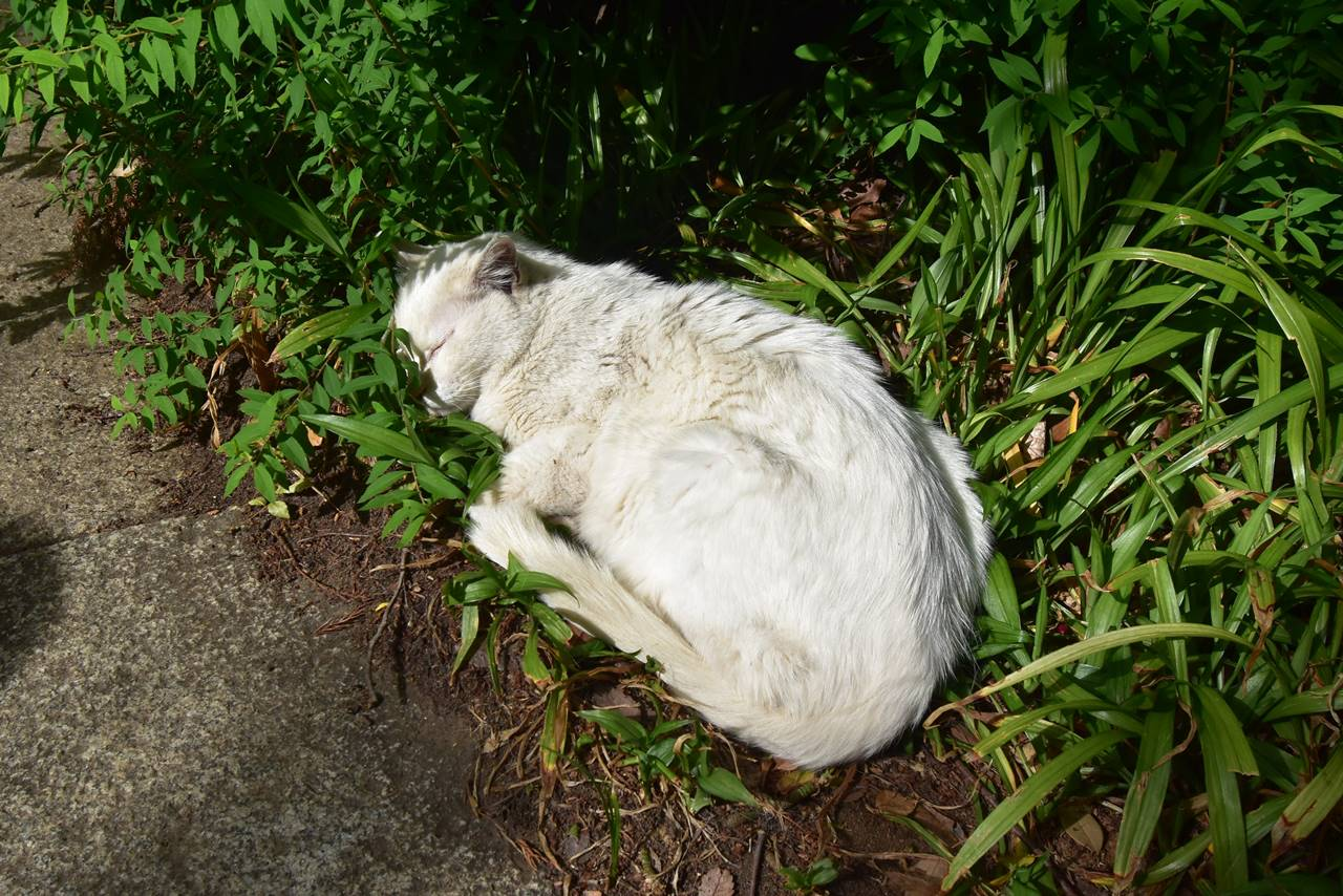 愛宕山の白猫・カリン様