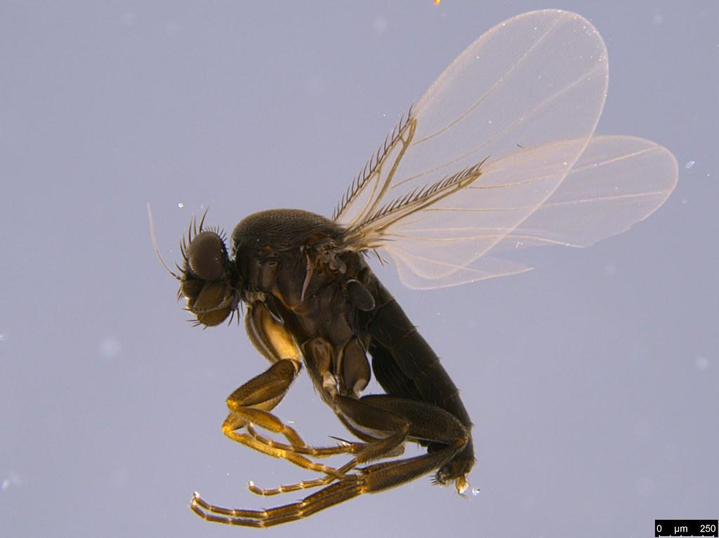 4c - Phoridae sp.