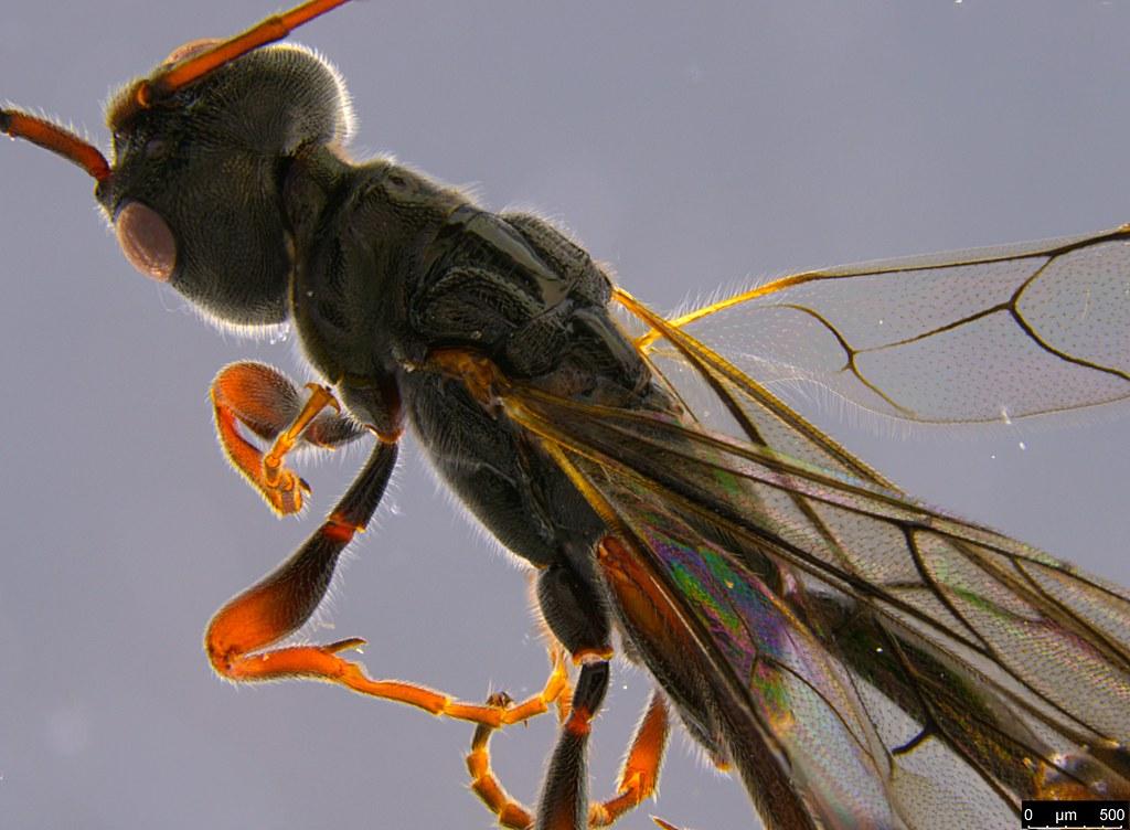 14d - Monomachus antipodalis Westwood, 1874