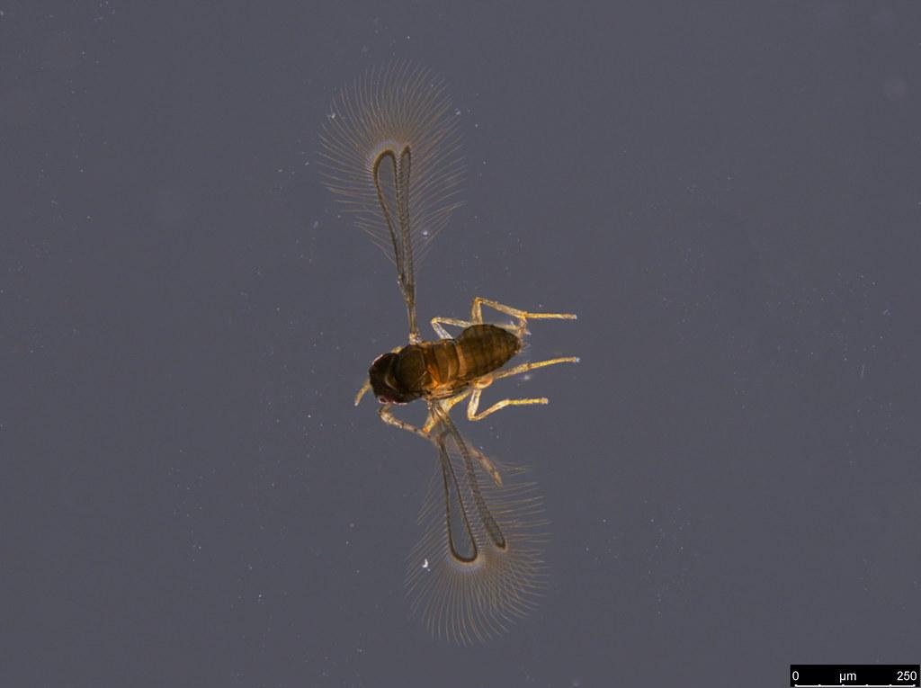 15a - Mymaridae sp.