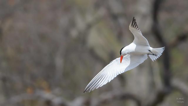 Caspian Tern  8935