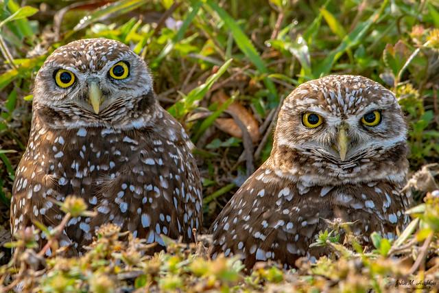 2020.01.31.0895.D500 Burrowing Owls