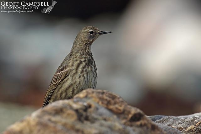 Rock Pipit (Anthus petrosus)