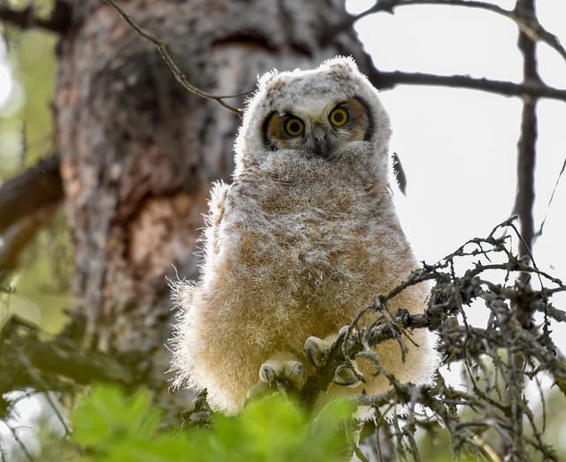 Great horned owlet fledged the nest