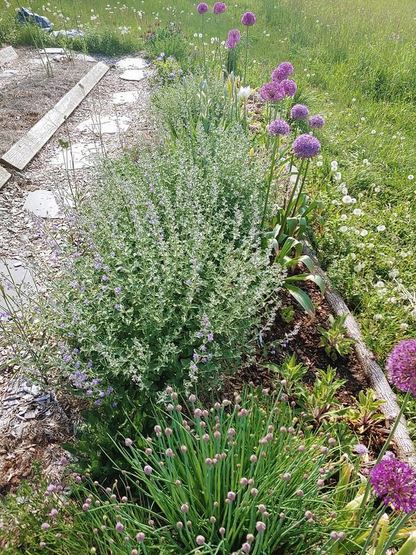 The pollinator garden this year