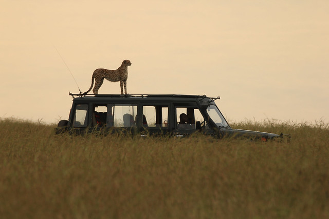 Good view - Malaika, a female Cheetah, looks for predators and prey by jumping on top of a tourist vehicle. Maasai Mara, Kenya, 2012.