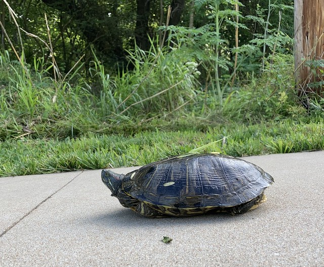 Red-eared slider at Greentree Park