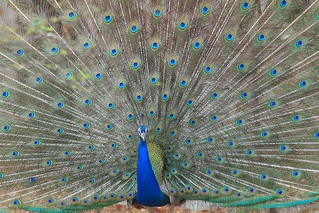 Peacock plumage - Ahmedabad, India, 2012.