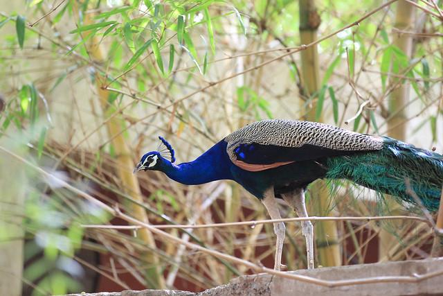 Peacock - Ahmedabad, India, 2012.