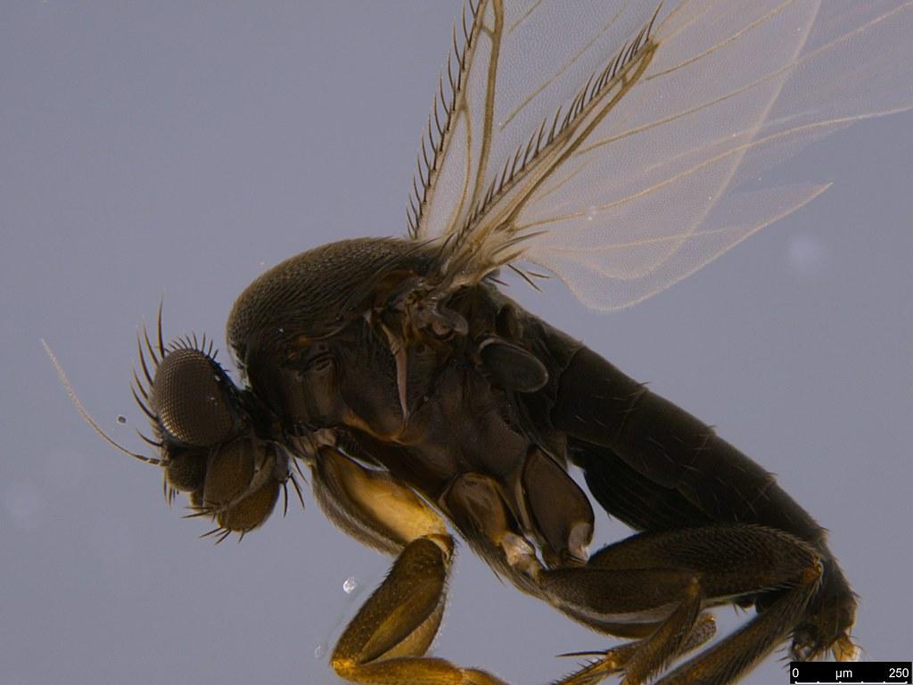 4b - Phoridae sp.