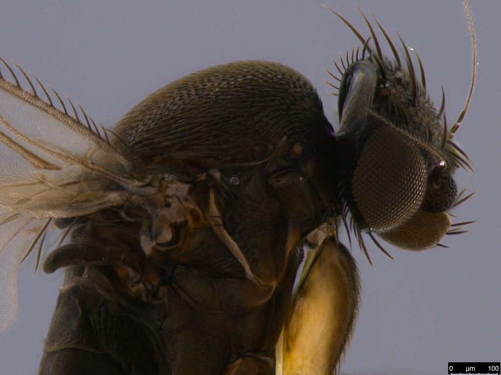 4e - Phoridae sp.