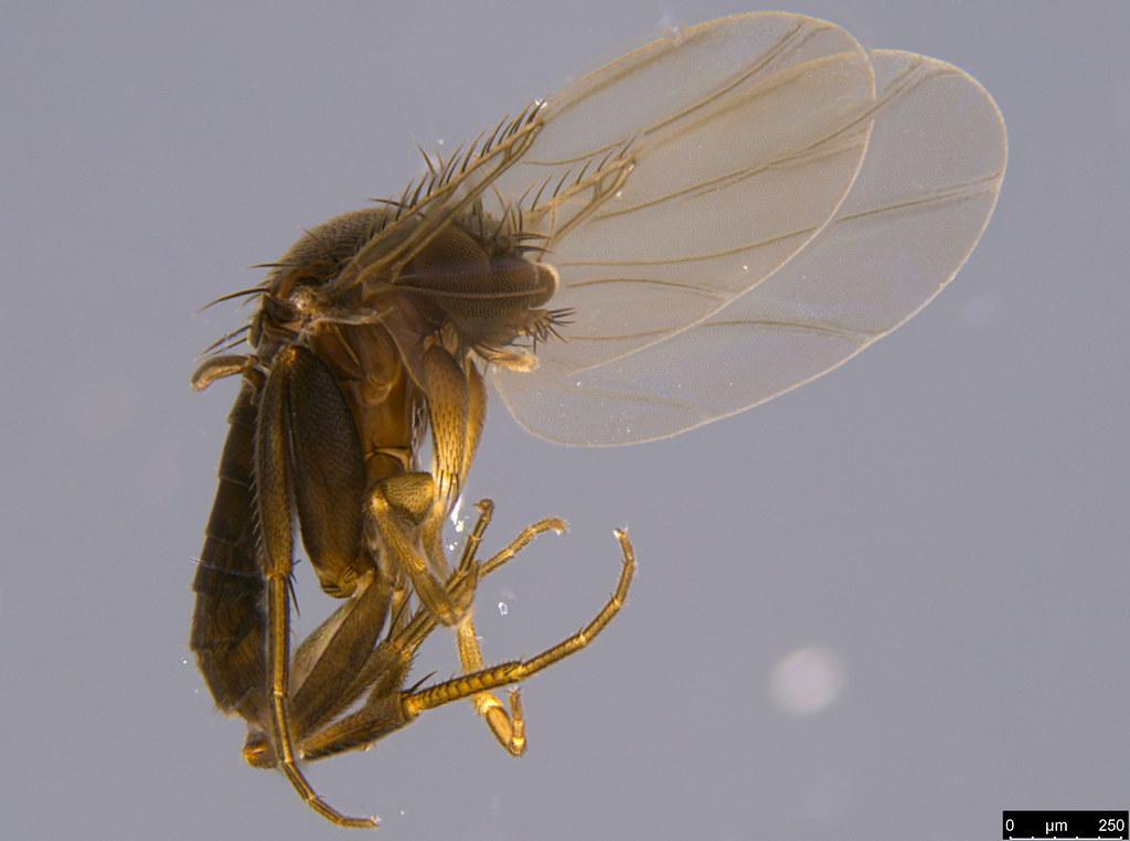 5a - Phoridae sp.