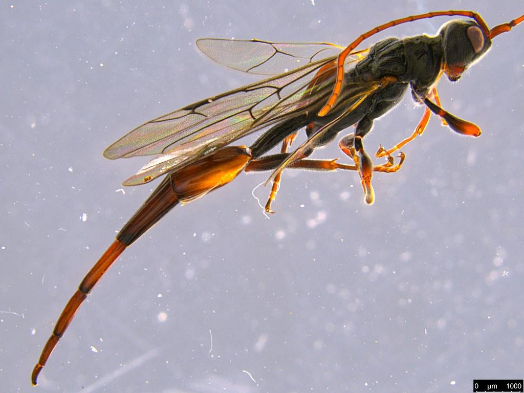 14b - Monomachus antipodalis Westwood, 1874