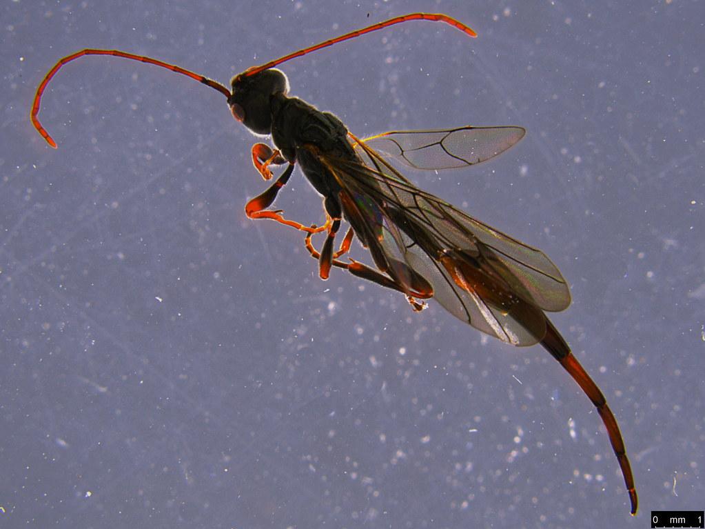 14e - Monomachus antipodalis Westwood, 1874