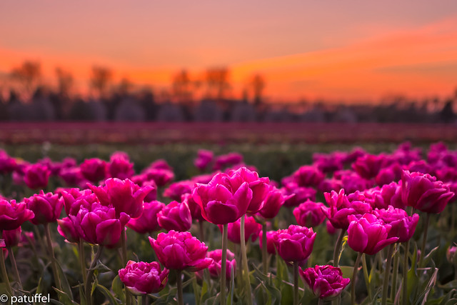 Tulips during sunset