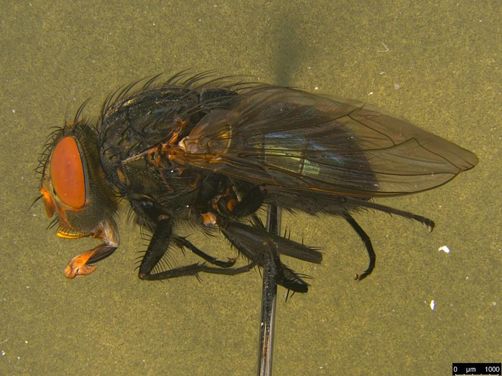 7b - Tachinidae sp.