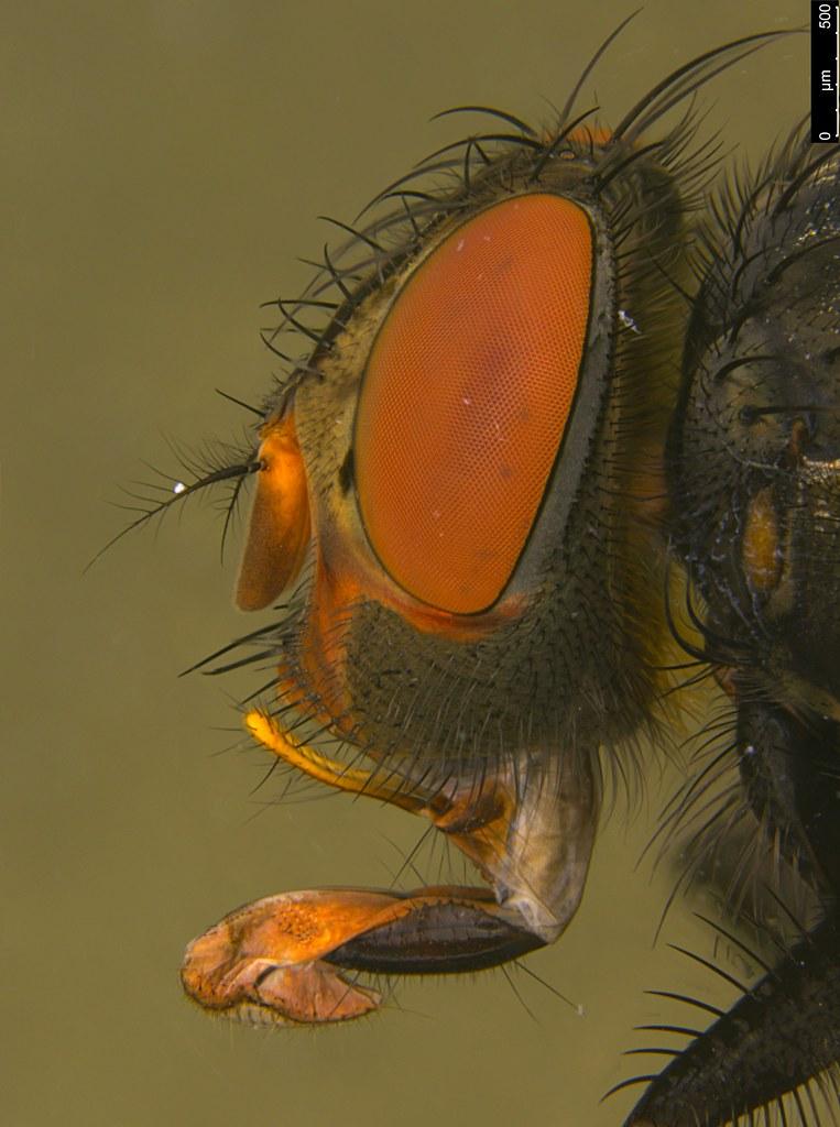 7c - Tachinidae sp.