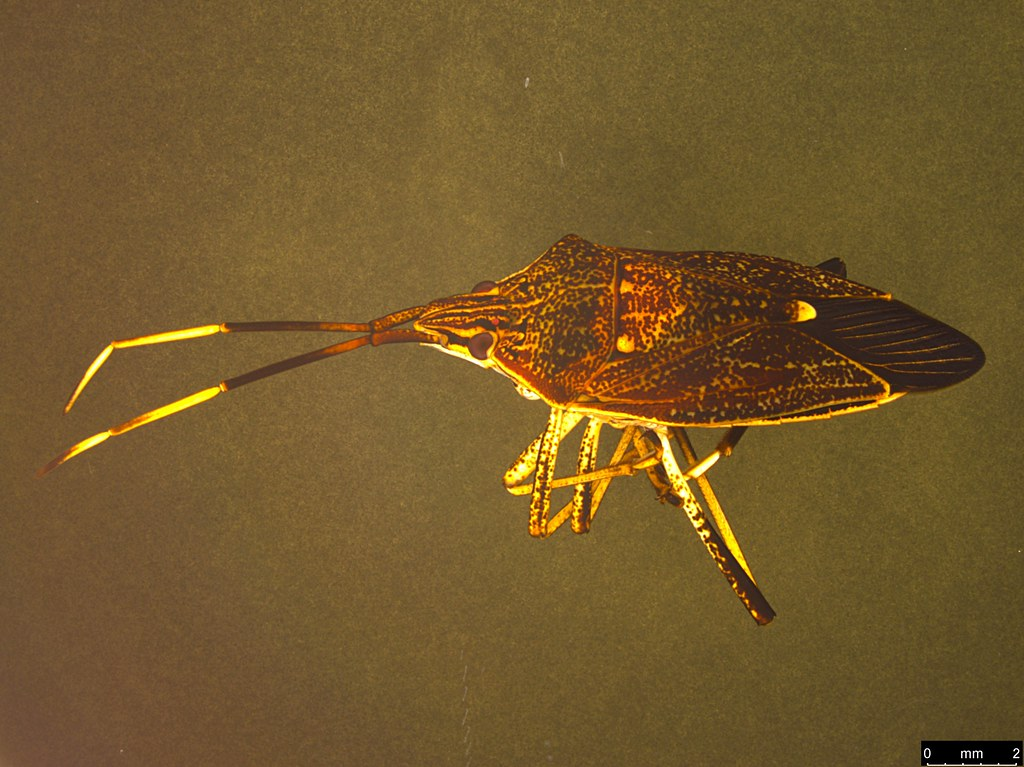 9a - Poecilometis strigatus (Westwood, 1837)