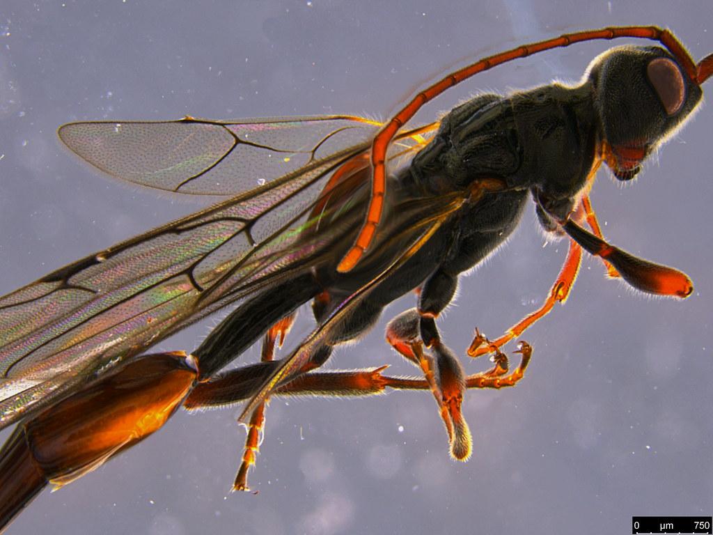 14c - Monomachus antipodalis Westwood, 1874