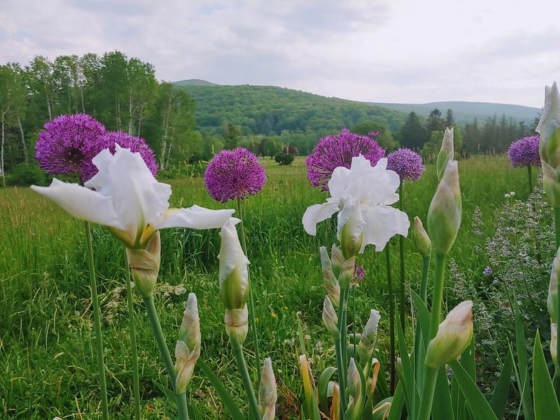Bearded Irises and Purple Sensation AlliumAllium
